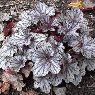 Heuchera Marble Silver tűzgyöngyvirág tavasz