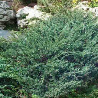 Juniperus horizontalis Wiltonii henyeboróka