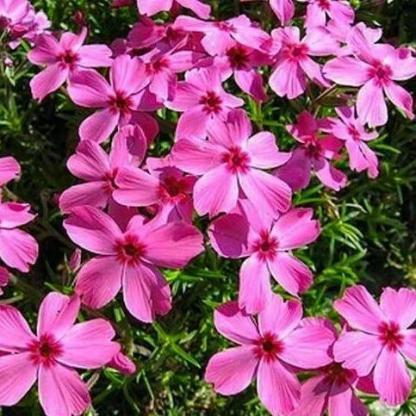 Phlox subulata Drummons Pink arlevelu langvirag