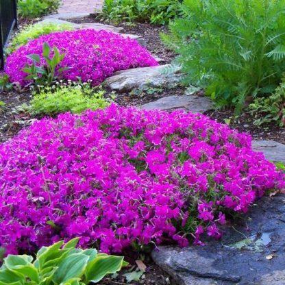 Phlox subulata Drummons Pink arlevelu langvirag tipegő kövek között