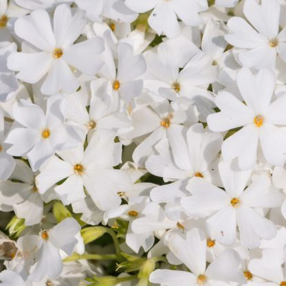 Phlox subulata Fabulous White arlevelu langvirag
