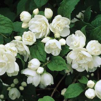Phyladelphus Virginal telvirágú jezsámen virág