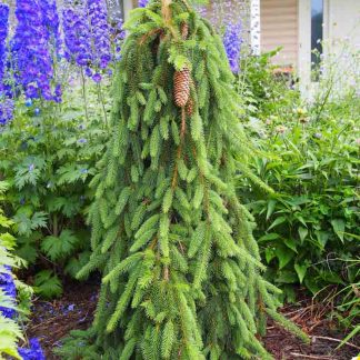 Picea abies Inversa csüngő ágú lucfenyő
