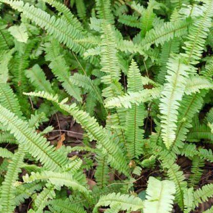 Polystichum munitum kardpafrany