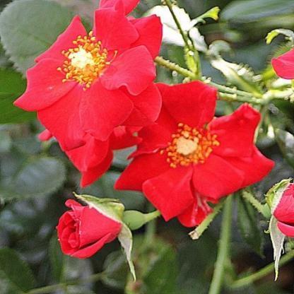 Rosa Alpenglühen vörös talajtakaró
