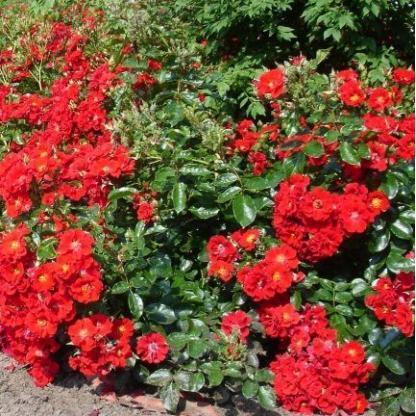 Rosa Alpenglühen vörös talajtakaró2