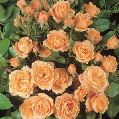 Rosa Apricot narancssárga mini rózsa
