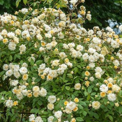 Rosa Auscanary sárga futórózsa bokor
