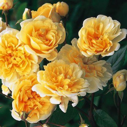 Rosa Auscanary sárga futórózsa virág