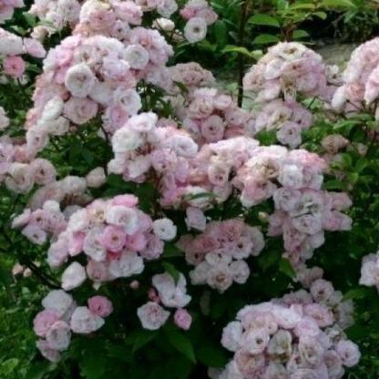 Rosa Bouquet Parfait rózsaszín fehér parkrózsa bokor