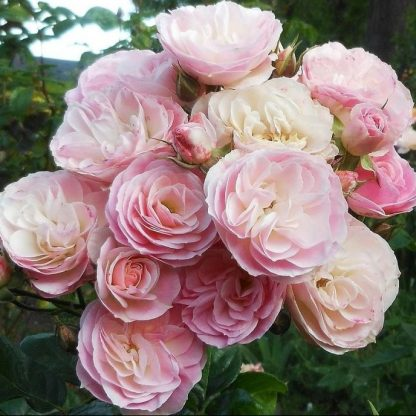 Rosa Bouquet Parfait rózsaszín fehér parkrózsa virág