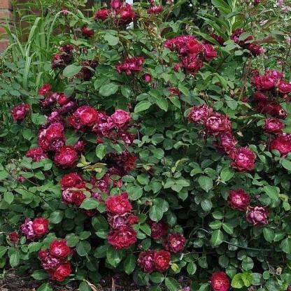 Rosa Cardinal Hume vörös-lila parkrózsa bokor