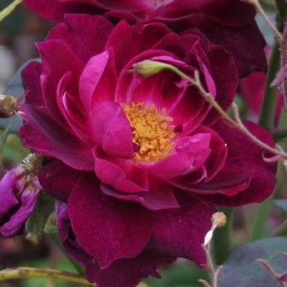 Rosa Cardinal Hume vörös-lila parkrózsa virág