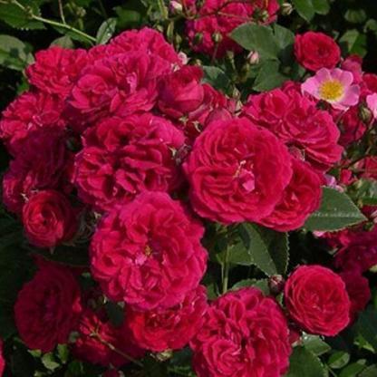 Rosa Chevy Chase vörös kúszórózsa