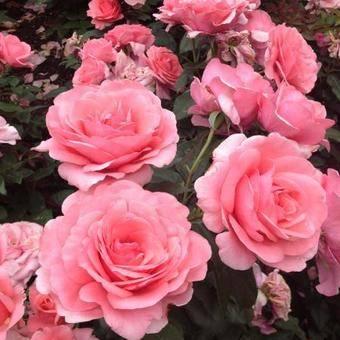 Rosa Elaine Paige rózsaszín teahibrid