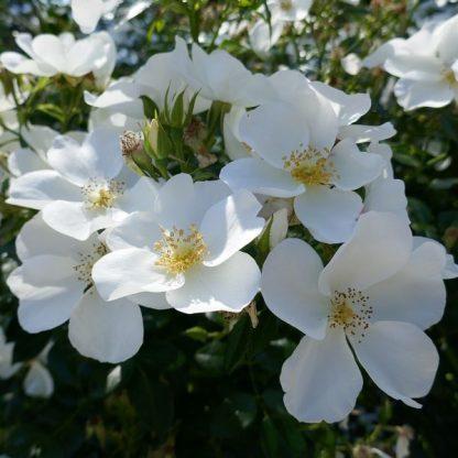 Rosa Escimo fehér talajtakaró virág