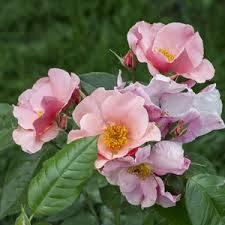 Rosa Fáy Aladár narancssárga-rózsaszín parkrózsa virág