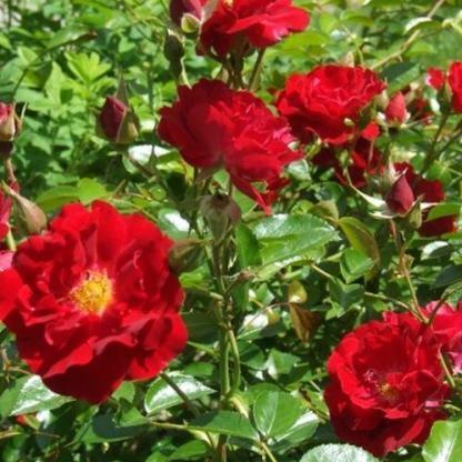 Rosa Fekete István vörös mini rózsa