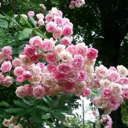 Rosa Frau Eva Schubert rózsaszín kúszórózsa