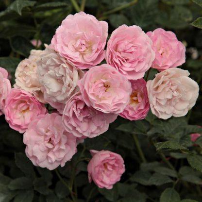 Rosa Frau Eva Schubert rózsaszín kúszórózsa virág