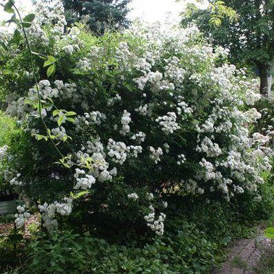 Rosa Guirlande d'Amour fehér parkrózsa bokor