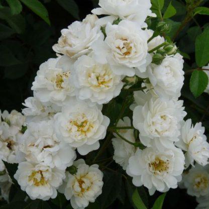 Rosa Guirlande d'Amour fehér parkrózsa virág