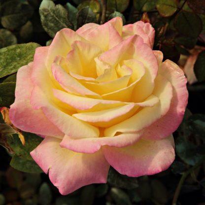 Rosa Horticolor sárga rózsaszín teahibrid