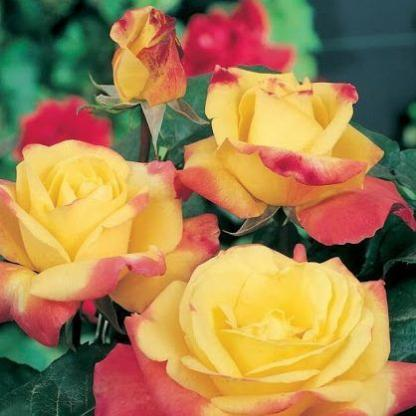 Rosa Horticolor sárga rózsaszín teahibrid2