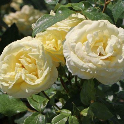 Rosa-Limona-sarga-teahibrid