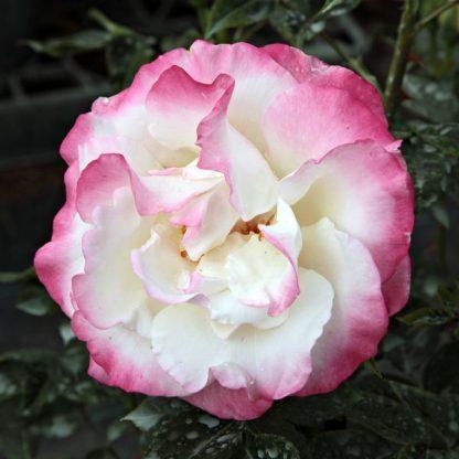 Rosa Mami fehér parkrózsa virág