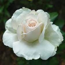 Rosa Metro fehér teahibrid