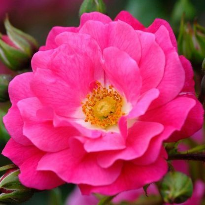 Rosa Noatraum rózsaszín talajtakaró
