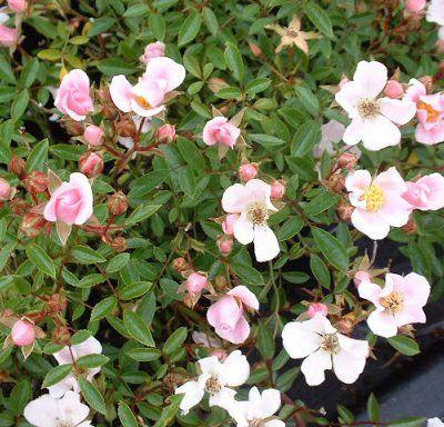 Rosa Nozomi rózsaszín talajtakaró