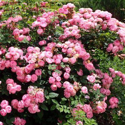 Rosa Raubritter rózsaszín parkrózsa bokor
