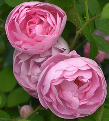 Rosa Raubritter rózsaszín parkrózsa virág
