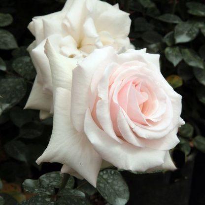 Rosa Schwanensee rózsaszín-fehér futórózsa