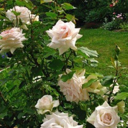 Rosa Schwanensee rózsaszín-fehér futórózsa2