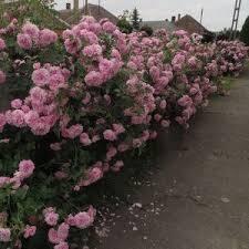 """Rosa 'Szent Erzsébet'- rózsaszín parkrózsa 1 A <strong>Rosa Szent Erzsébet</strong> csésze alakú, rózsaszínű virágai olyan tömegben nyílnak, hogy nyár közepén teljesen beborítják a bokrot. T<span class=""""product_desc"""">erebélyes növekedéssel rendelkezik, így nagyobb kertek színesítésére igen jó választás.</span> <em>Kiszerelés: konténeres, 2 literes </em>"""