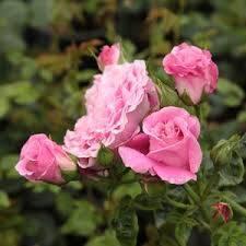 Rosa Szent Erzsébet rózsaszín parkrózsa virág