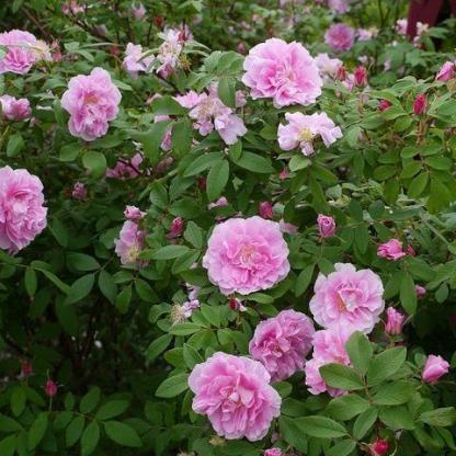 Rosa Therese Bugnet rózsaszín parkrózsa bokor