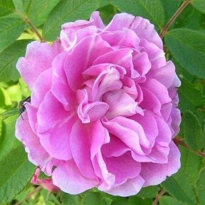 Rosa Therese Bugnet rózsaszín parkrózsa virág