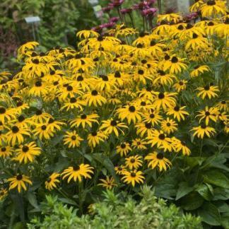 Rudbeckia fulgida City Garden kúpvirág