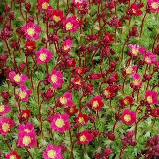 Saxifraga arendsii Saxoni Red kötörőfű