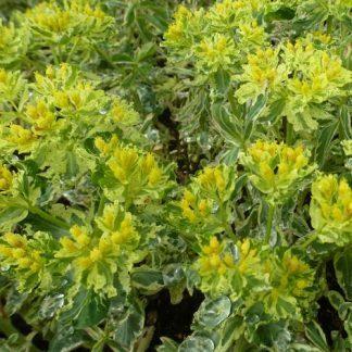 euphorbia-polychroma-variegata-szinevalto-kutyatej