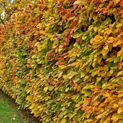 gyertyán sövény ősszel