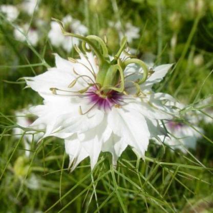 A Nigella damascena 'Miss Jekyll White' - borzaskata csillagalakú fehér virágja