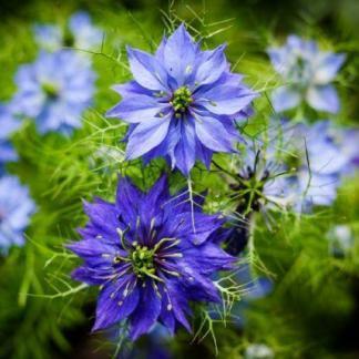 A Nigella damascena 'Moody Blues' - borzaskatának kékes-lilás, csillagalakú virágai vannak.