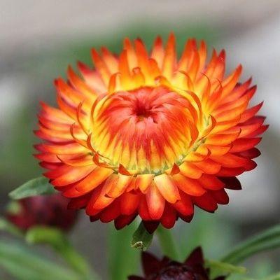 Helichrysum bracteatum 'Orange' - narancssárga szalmarózsa
