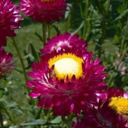 Helichrysum bracteatum 'Purple Red' - lila szalmarózsa