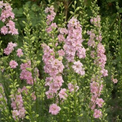A Delphinium consolida 'QIS Light Pink' - halvány rózsaszín szarkaláb akár 1 méteresre is megnőhet!
